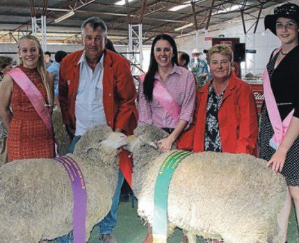 Champion Merino Ewes at Longreach Show