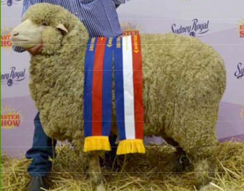 Grand Champion Ewe at Sydney Royal Show