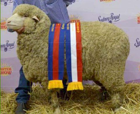 Grand Champion Ewe at Sydney Royal Show