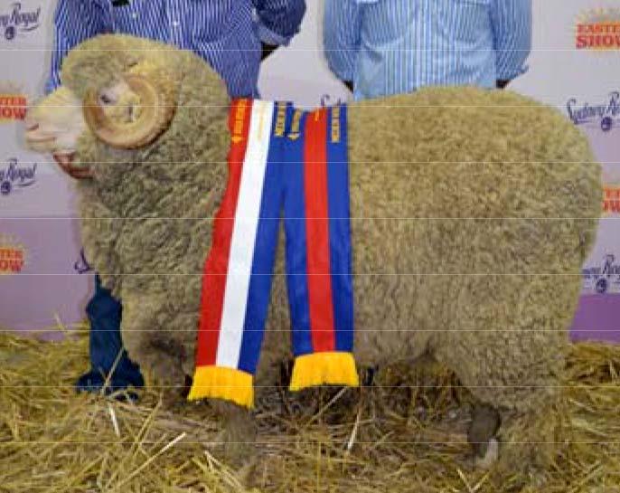 Grand Champion Ram at Sydney Royal Show