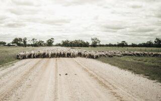 Merino and Poll Merino Sheep LachRiver Stud
