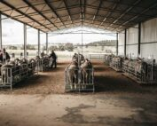 Merino and Poll Merino Ram Sale LachRiver Stud